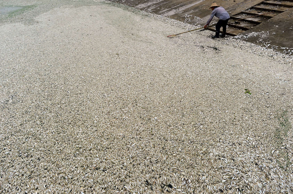 . A resident clears dead fish from the Fuhe river in Wuhan, in central China\'s Hubei province on September 3, 2013 after large amounts of dead fish began to be surface early the day before. According to local media, about 30 thousand kilograms of dead fish had been cleared by late September 2. The official Wuhan municipal government\'s emergency office Weibo account announced on September 3 that the fish had died of severely high levels of ammonia.   AFP PHOTOSTR/AFP/Getty Images