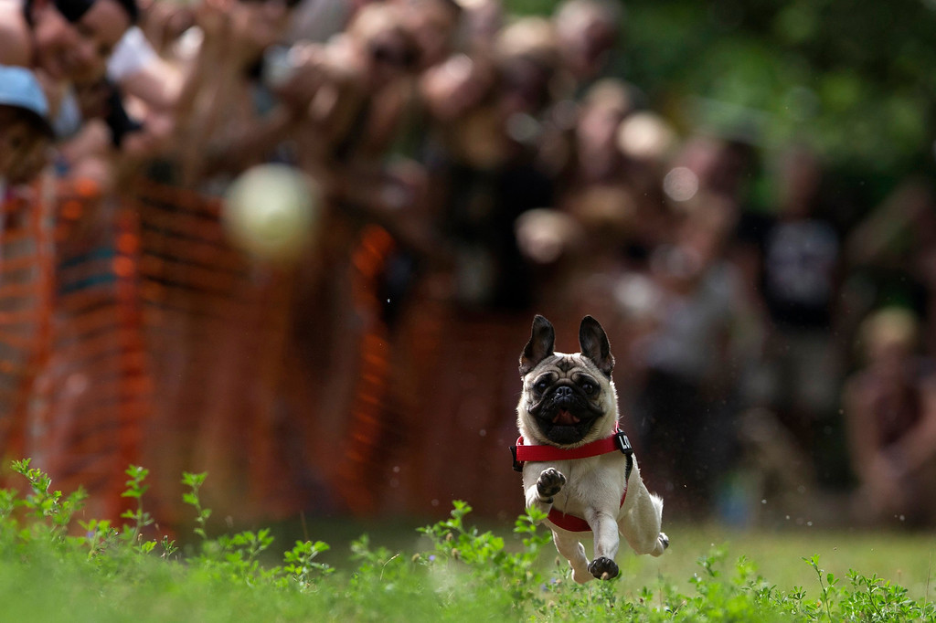 . Lotte competes in a pug race during a pug dog meeting in Berlin August 3, 2013. Thirty one dogs took part in the competition that was organized by a local pug dog association. REUTERS/Thomas Peter
