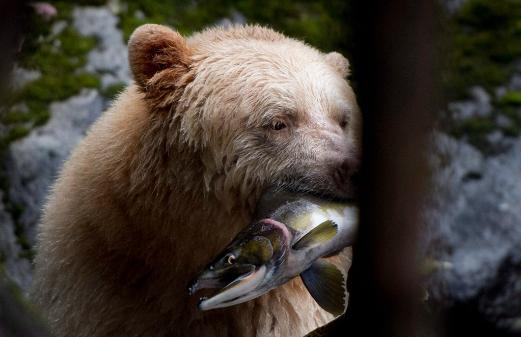 . A Kermode bear, better know as the Spirit Bear is seen fishing in the Riordan River on Gribbell Island in the Great Bear Rainforest, B.C. on Sept, 18, 2013.  (AP Photo/The Canadian Press, Jonathan Hayward)