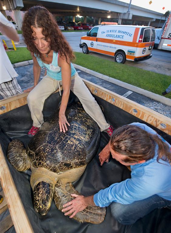 . In this photo provided by the Florida Keys News Bureau, Bette Zirkelbach, left, and Richie Moretti, of the Florida Keys-based Turtle Hospital check on OD, a green sea turtle, before it is loaded on a FedEx aircraft Thursday, July 25, 2013, in Fort Lauderdale, Fla. Because the turtle cannot be released due to an irreparable collapsed lung, the turtle is being flown to Las Vegas to live out its life at The Shark Reef Aquarium at Mandalay Resort and Casino. (AP Photo/Florida Keys News Bureau, Andy Newman)
