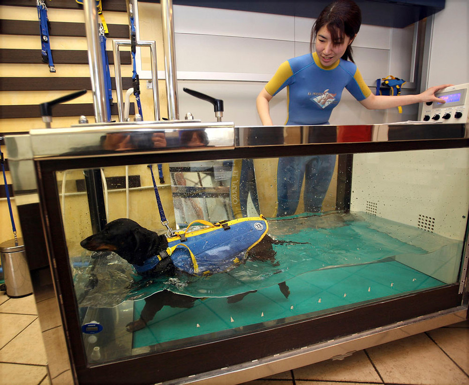 . 5-year-old obese dachshund walks on an aqua treadmill at El Perro aqua fitness club for dogs March 17, 2007 in Tokyo, Japan. El Perro provides fitness programs for dogs to keep them healthy, also offers diet courses for abese dogs where the wonders can learn how to balance their pet�s diet by comparing measured weight with ideal and calculating the amount of calories necessary for dogs to take. (Photo by Koichi Kamoshida/Getty Images)