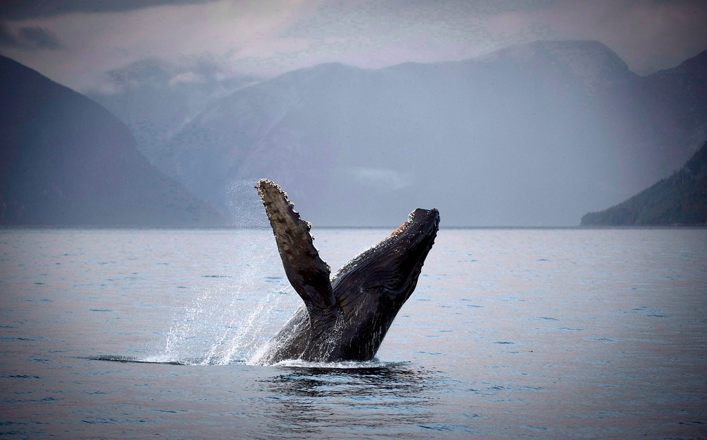 . A humpback whale is seen just outside of Hartley Bay along the Great Bear Rainforest, B.C., Sept, 17, 2013. Canada\'s government on Tuesday, June 17, 2014,  approved a controversial pipeline proposal that would bring oil to the Pacific Coast for shipment to Asia, a major step in the country\'s efforts to diversify its oil exports if it can overcome fierce opposition from environmental and aboriginal groups.  (AP Photo/The Canadian Press, Jonathan Hayward)
