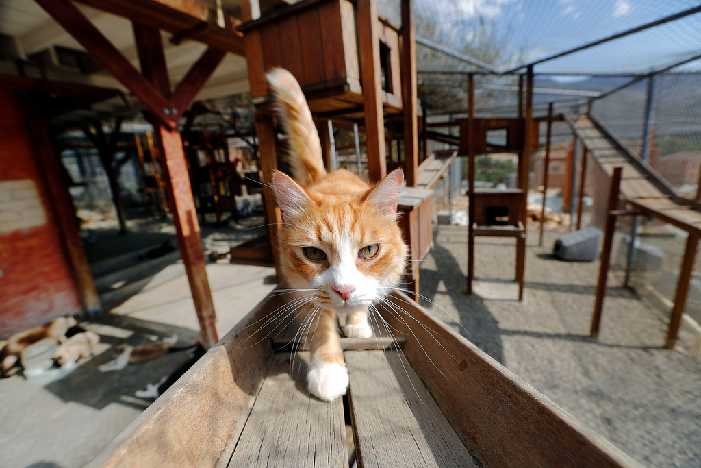 . A cat walks on a, well, catwalk at Leo Grillo\'s DELTA (Dedication & Everlasting Love to Animals) Rescue complex in Acton, Calif.  Aug. 29, 2013. (AP Photo/Reed Saxon)
