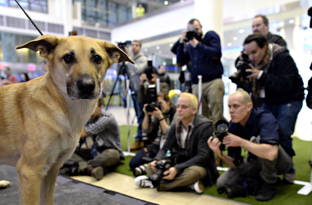 . A Chinook, one of three new breeds, meets the press during a press event at Madison Square Garden  January 15, 2014 to  promote the First-ever Masters Agility Championship at the 138th Annual Westminster Kennel Club Dog Show.    TIMOTHY CLARY/AFP/Getty Images