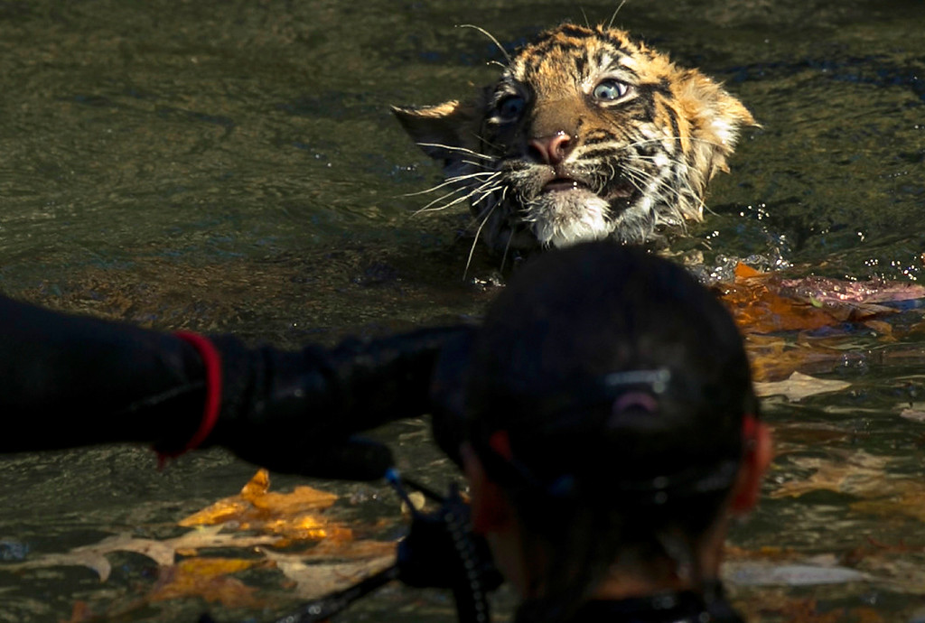 ". A male Sumatran Tiger cub named Bandar performs his ""swim test\"" in a moat of the Great Cats exhibit at the National Zoo November 6, 2013 in Washington, DC.   (Photo by Win McNamee/Getty Images)"