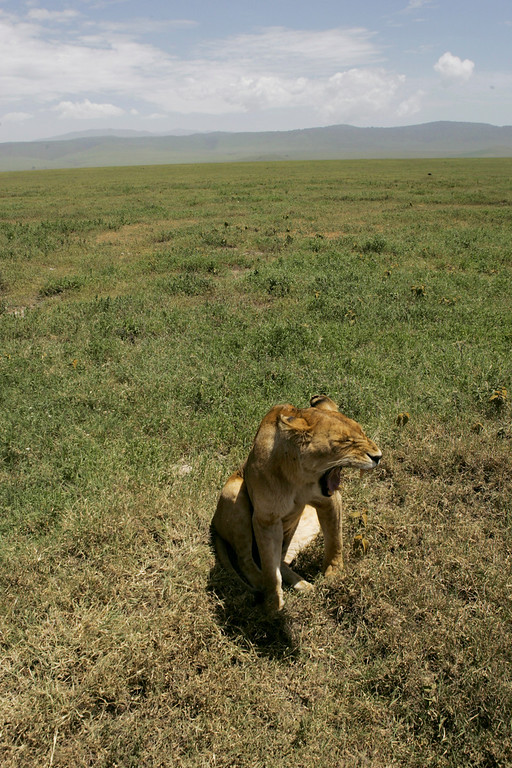. A lioness yawns in the grasslands of Ngorongoro Crater in Tanzania, Africa