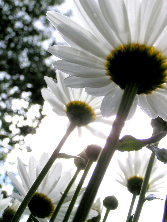 ". WINNER: ""Kati�s White Daisies\"" - Kandis Glasgow of Littleton captured the wonder of a sunlit morning.  Photo by Kandis Glasgow"